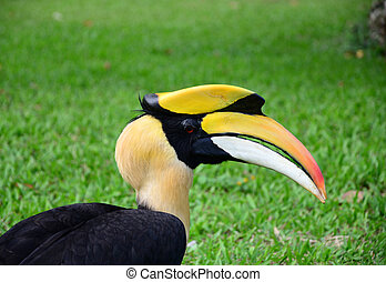 close up Great hornbill in forest