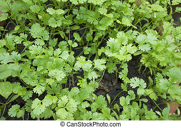 Coriander in the Garden