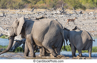 Elephants in Etosha - Group of Elephants leave waterhole in...