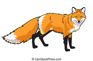 red fox  - standing red fox isolated on white background
