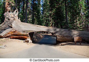 Tunnel tree in Sequoia National Park