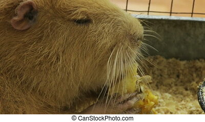 nutria - Nutria eating a pumpkin in a cage