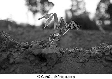 piantato, recentemente,  tapioca, albero, piccolo