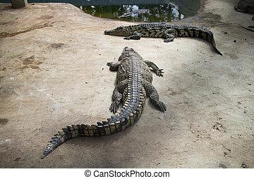 鱷魚, 農場