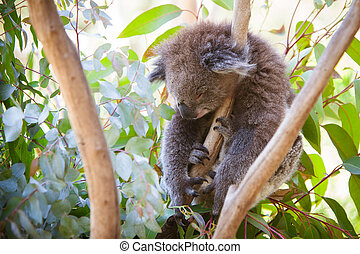 Sleeping Koala - A koala sleeps during a hot summer's day in...
