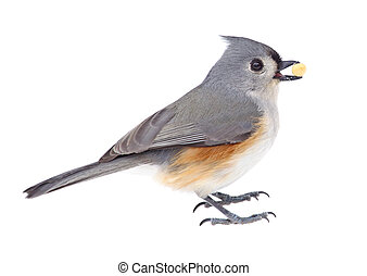 Tufted Titmouse Eating - Tufted titmouse, Baeolophus...