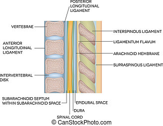 Human vertebral column with description - Human spine,...