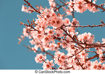 Pink Flowers Blooming Peach Tree at Spring Bright Blue Sky...