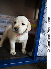 Labrador retriever puppy in a cage.
