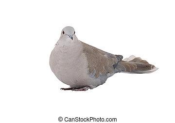 eurasian collared dove - eurasian collared dove on a white...