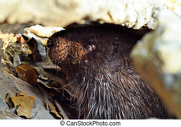 Malayan porcupine - The Malayan porcupine is found in...