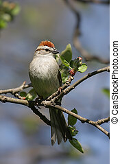 Chipping Sparrow (Spizella passerina) in an Apple Tree that...