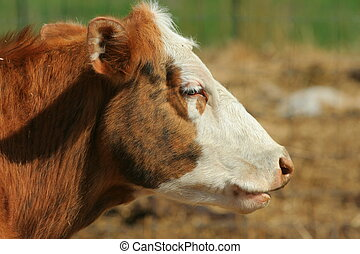 white-faced beef cow facing the sun