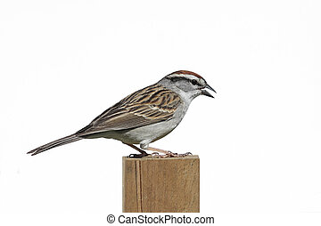 Isolated Chipping Sparrow - Chipping Sparrow Spizella...