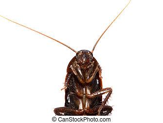 images et photos de roaches 2 709 images et photographies libres de droits de roaches. Black Bedroom Furniture Sets. Home Design Ideas