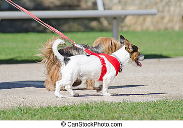 Two small dogs on a leash