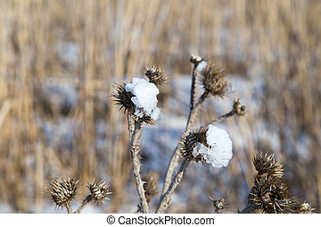 Snow on the prickly plant in nature
