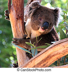 Smiling Koala in a Eucalyptus Tree, Adelaide, Australia