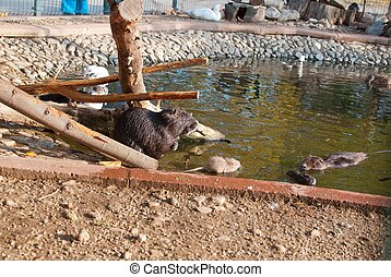 The nutria, Myocastor coypus, is a large, plant-eating,...