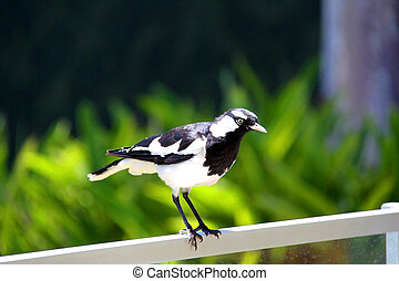 Murray-Magpie standing on fence - A male Murray-Magpie (also...