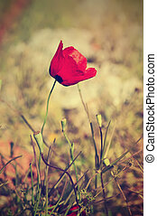 Poppy flower - Red poppy flower against rocks, summer...