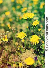 Coltsfoot flowers - Coltsfoot yellow flowers blossoming in...