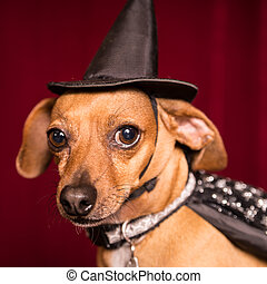 Cute Witch Dog - Cute Chiweenie dog dressed as witch with...