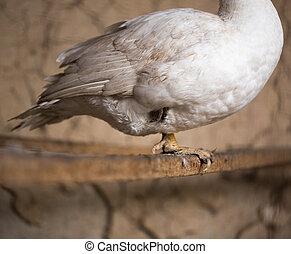 bird duck leg in hibernation