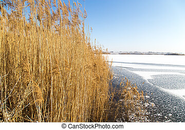 reeds on the lake in winter