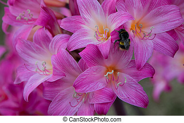 Amanyllis Bumble Bee - Bumble bee having a rest on a...