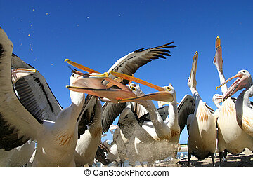 feeding time - Pelicans being fed the left over scraps from...