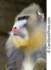 Mandrill - Portrait view of an adult male mandrill....
