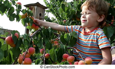 Boy and Apricot - Boy rips off the branches and eat apricots