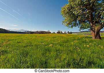 Flowering Tree Surrounded by Sloping Meadows, Switzerland