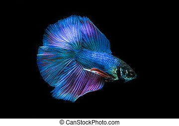 betta fish - siamese fighting fish, betta fish on black...
