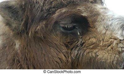 Camel eye close up