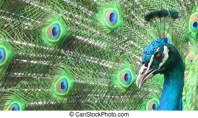 Peacock close up