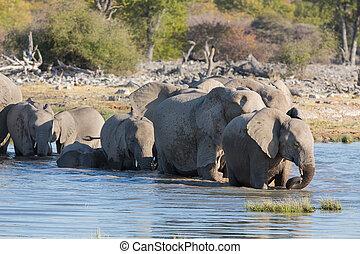 Elephants in Etosha - Group of elephants getting into...