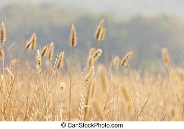 campo, trigo, fundo