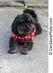 black poodle breed
