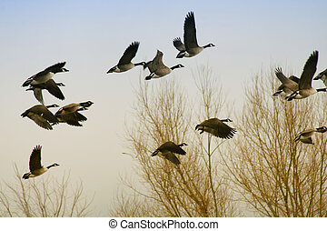 Canadian geese flying south in the fall