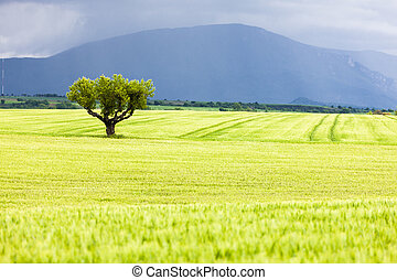 spring field with a tree, Plateau de Valensole, Provence,...