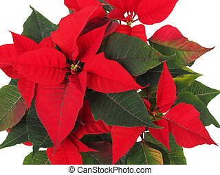 Christmas Star Flower, Poinsettia - Poinsettia euphorbia...