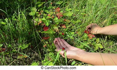 hands wild strawberry - woman hands gather pick harvest wild...