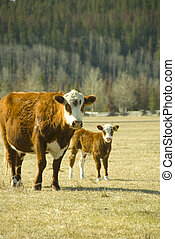 cow and calf - cow with youn calf on the meadow