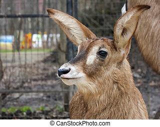 Roan antelope baby - Roan antelope Hippotragus equinus calf...