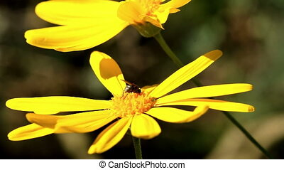 Yellow flowers with a insect