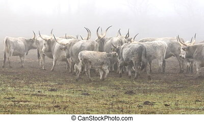 Beautiful hungarian grey bulls in a foggy day