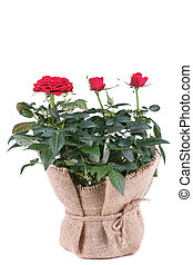 Rose red flowers in bag on white background
