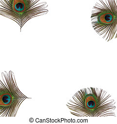 Peacock Eye Feathers - Iridescent eyes of four peacock...